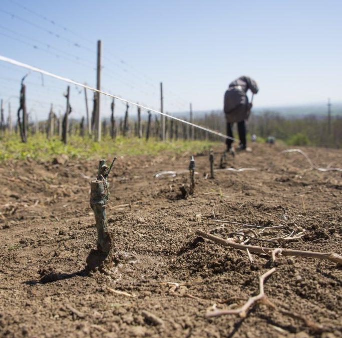 Садња огледног поља у винограду