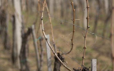 Резидба у манастирским виноградима