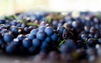 Завршена берба манастирских винограда у Букову
