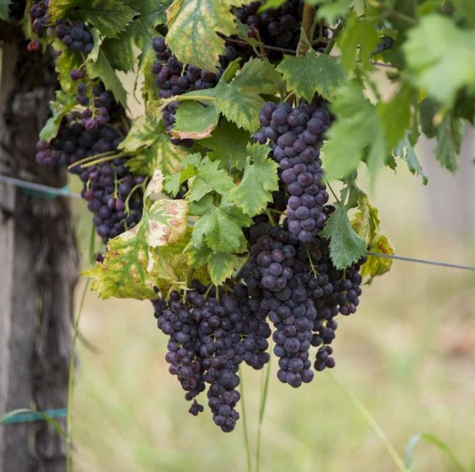 Берба буковских винограда